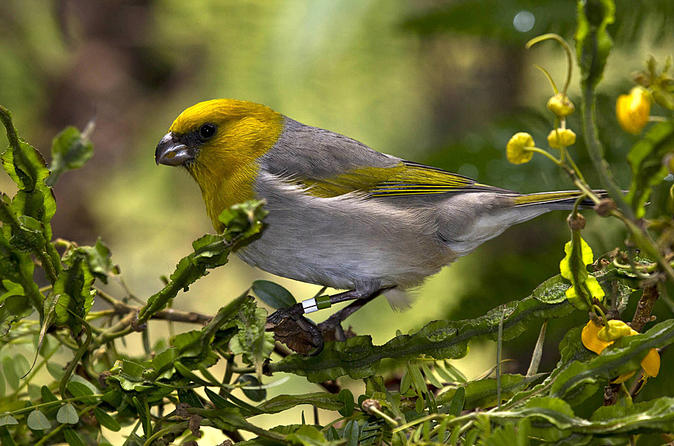Endangered Birds Of Hawaii on Hawaii