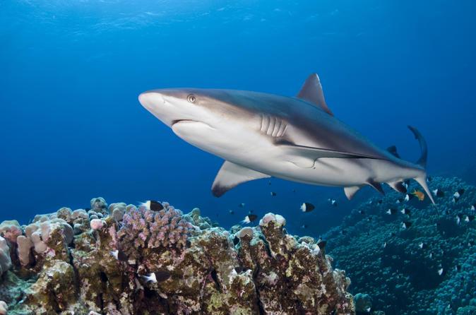 oahu-shark-dive-in-oahu